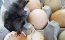 酷热天气 鸡蛋放阳台孵出鸡是怎么回事?